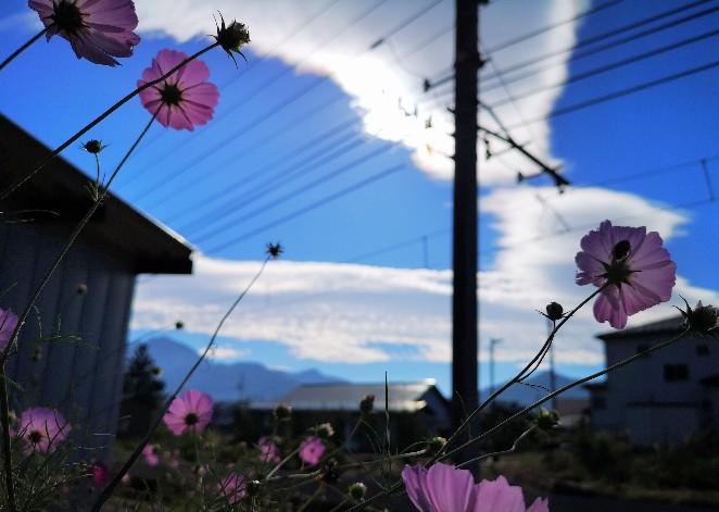 富士吉田のコスモス
