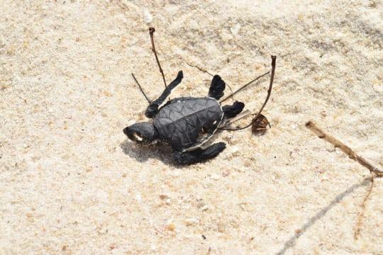 アリに襲われて命を落としたウミガメ