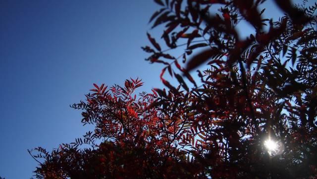 ナナカマド紅葉