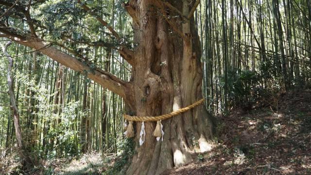 カヤの木③