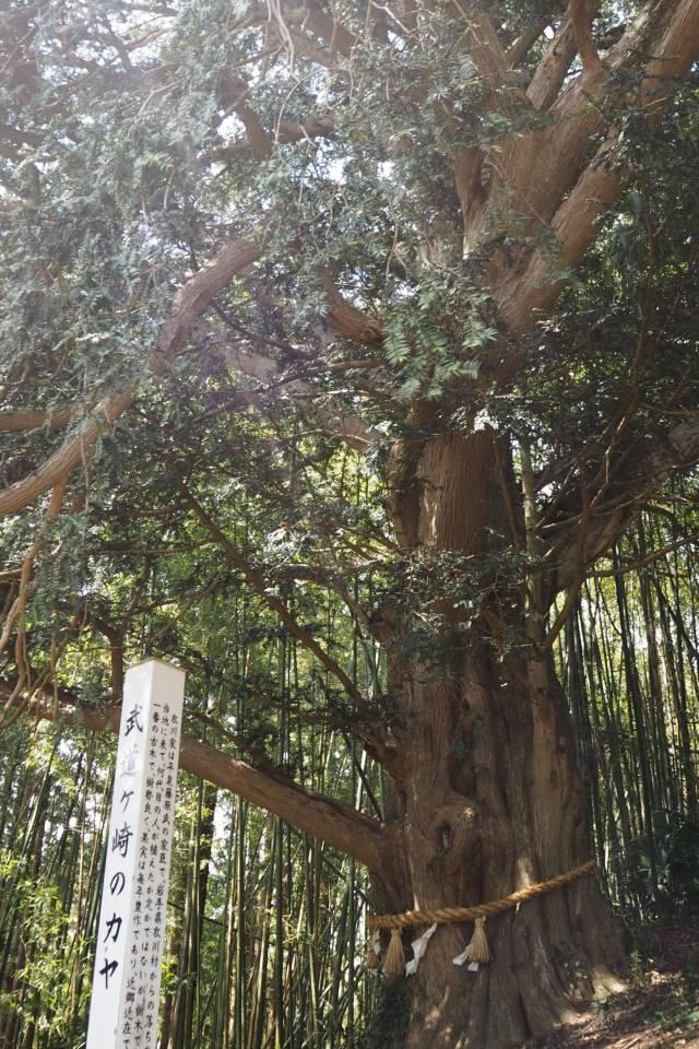 カヤの木④