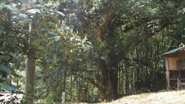 カヤの木LS