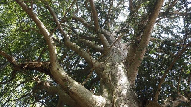 カヤの木上部