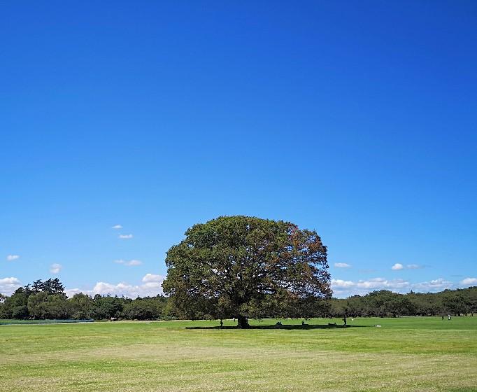 国営昭和記念公園みんなの原っぱ大ケヤキと空