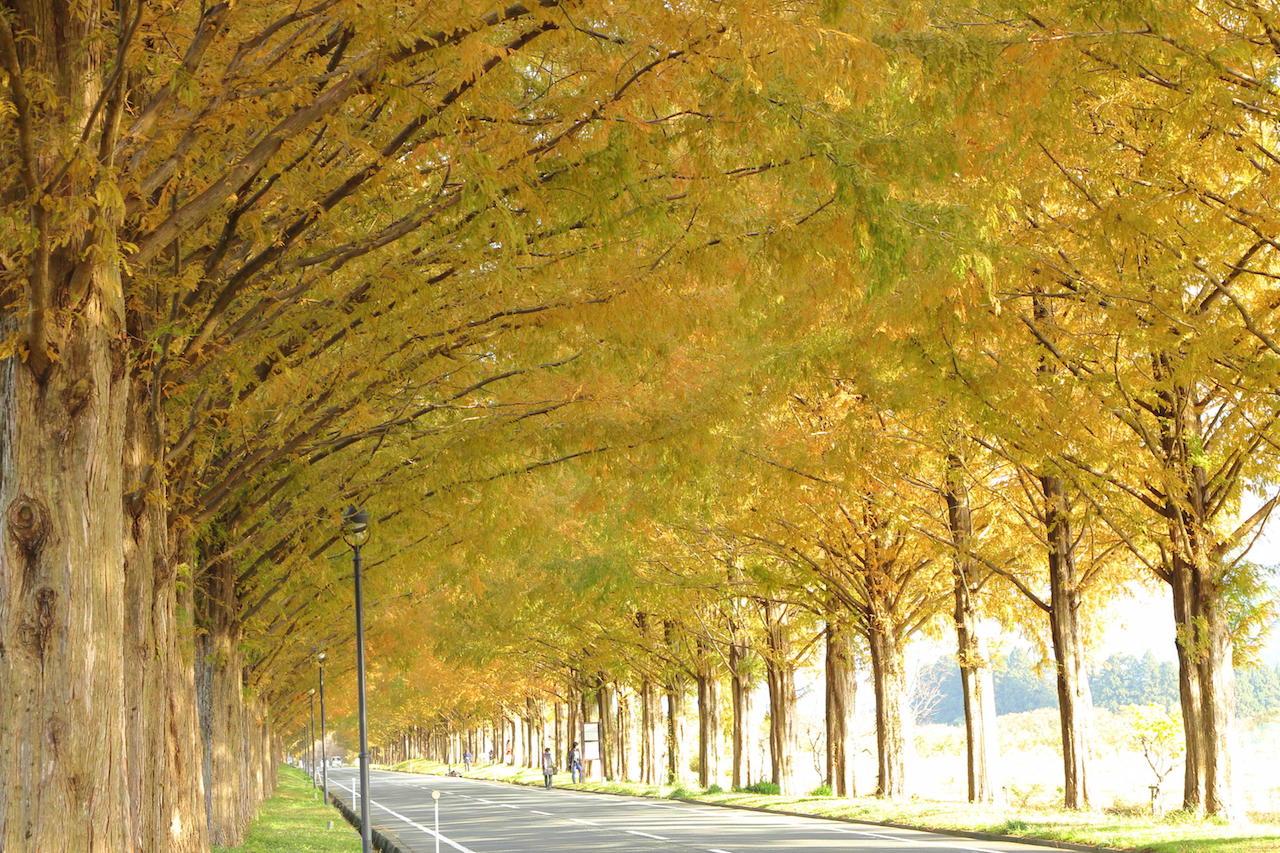 セコイア並木2