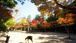 秋の宮島紅葉谷公園