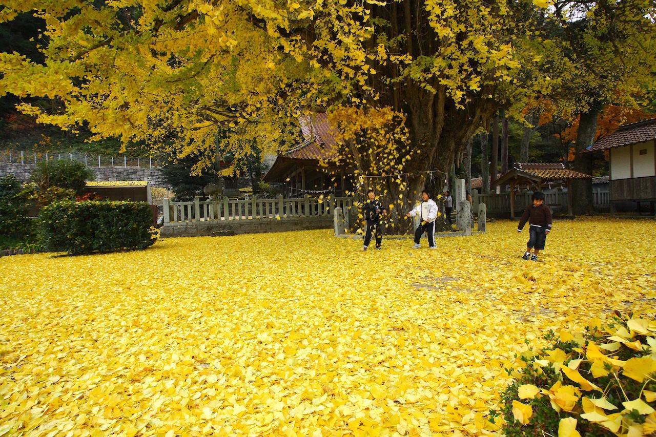 広島県 筒賀の大銀杏