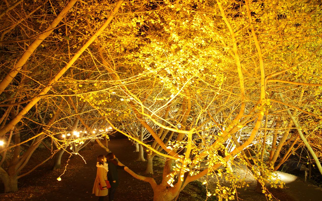 垂水千本イチョウ園 ライトアップ1