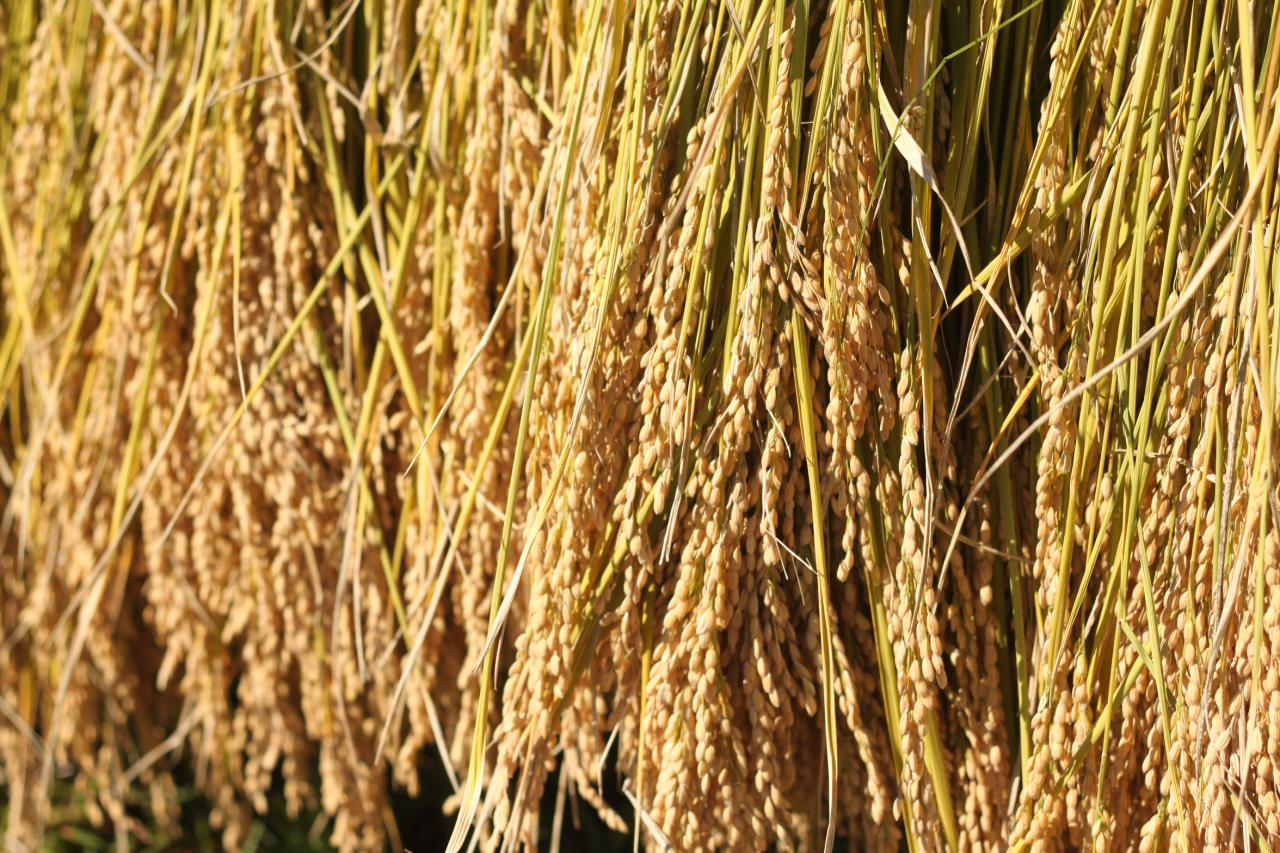 蒜山耕藝 米