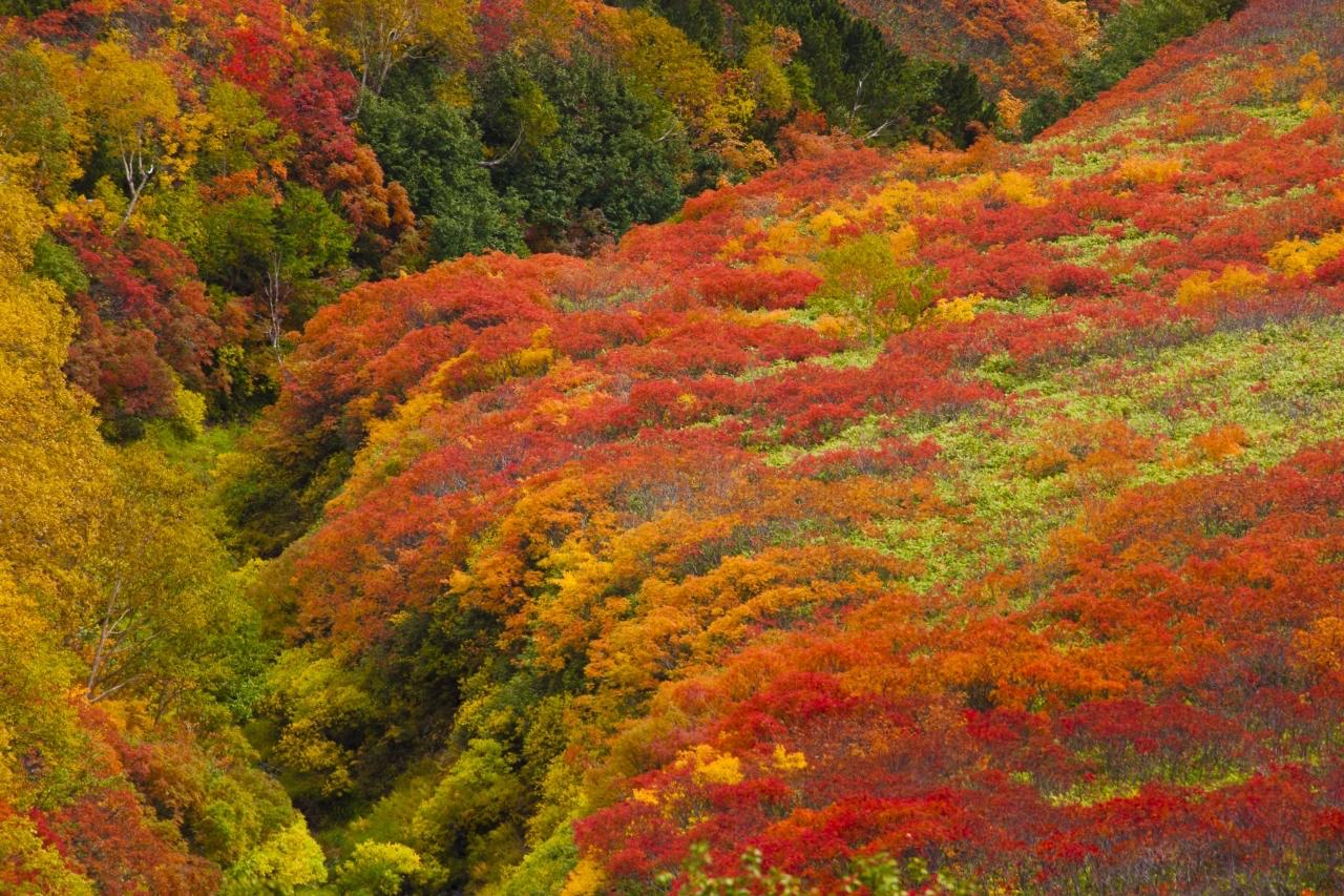 大雪山 紅葉