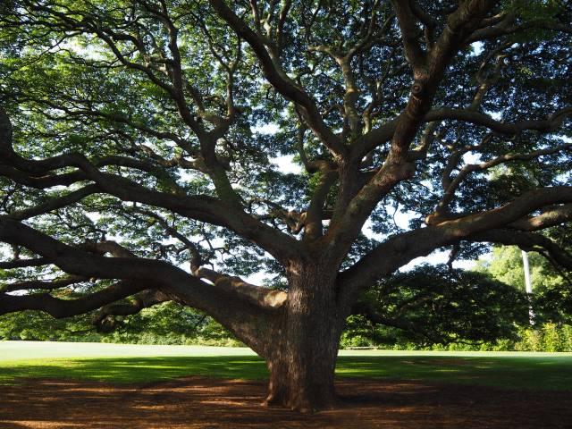 1本の木に会いに行く(13)この木 何の木 気になる木<ハワイ ...