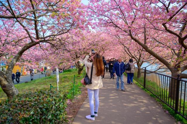 桜 まつり 河津