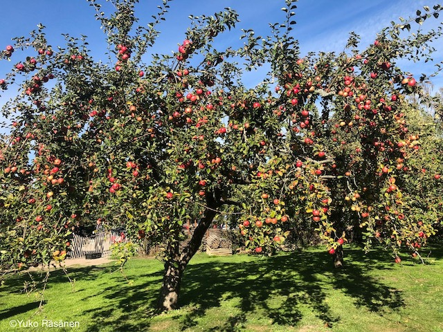 立派なりんごの木