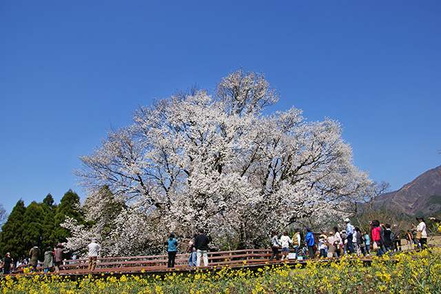 【お花見特集2020】畑地帯に佇むヤマザクラの巨木「一心行の大桜」