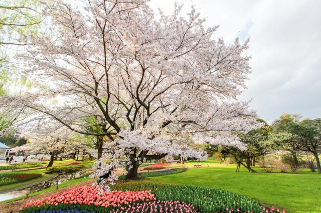 【お花見特集2020】広大な敷地に桜スポットが点在「昭和記念公園」