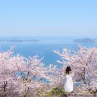 香川県「紫雲出山」の桜