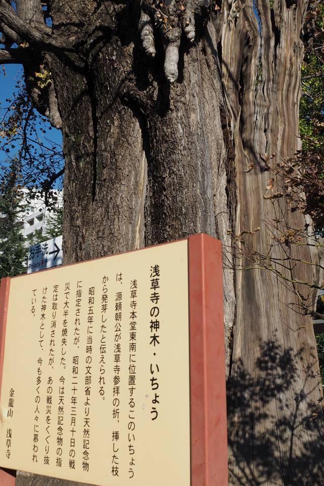 浅草寺の戦災イチョウ