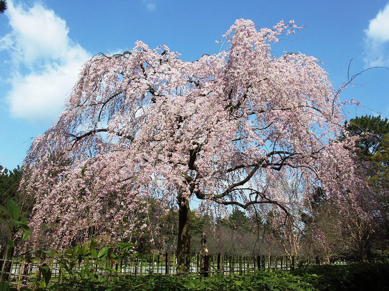 京都御苑「出水の枝垂桜」