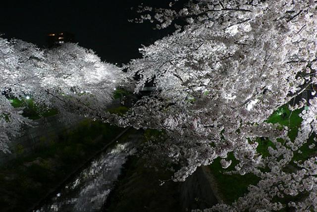 名古屋市瑞穂区「山崎川 四季の道」夜桜ライトアップ