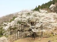 兵庫県養父市「樽見の大桜」