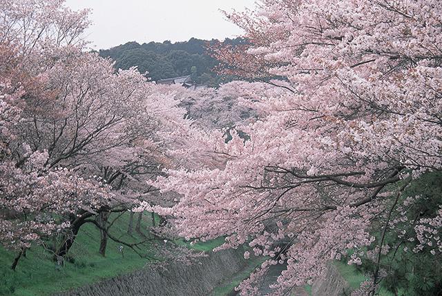 【お花見特集2020】水路両脇の桜並木とレトロな水門の風景「琵琶湖疏水」