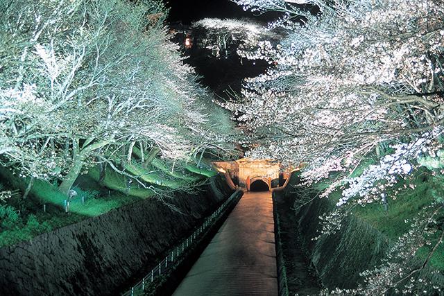 琵琶湖疏水の桜「夜桜ライトアップ」