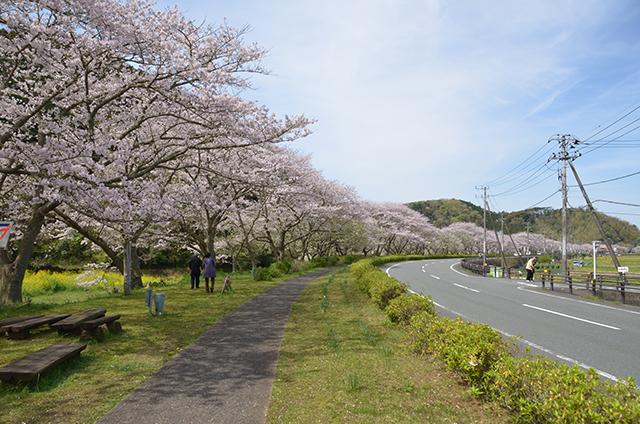 【お花見特集2020】全長6kmに1200本の桜。西伊豆松崎「那賀川」沿い桜並木