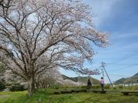 西伊豆松崎「那賀川」沿い桜並木