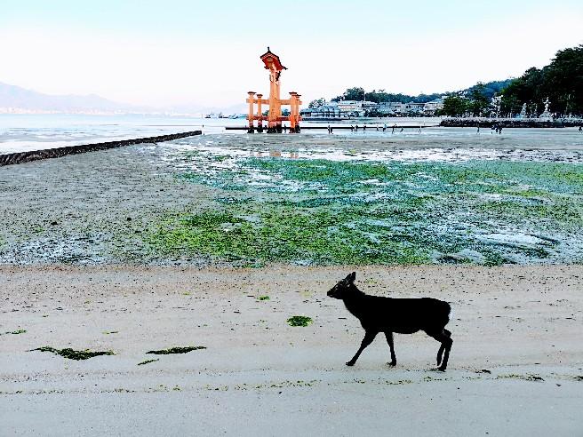 嚴島神社朝の大鳥居と鹿