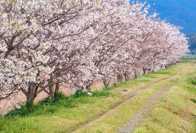 【桜餅】関東と関西の違いはなに