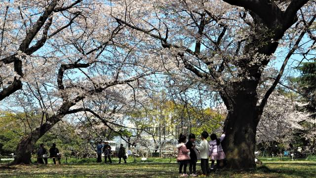 桜と子どもたち