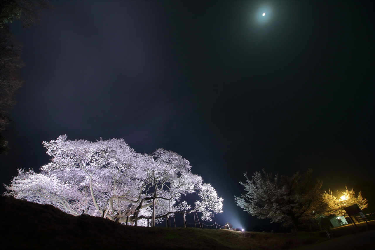 島根県浜田市「三隅大平桜」