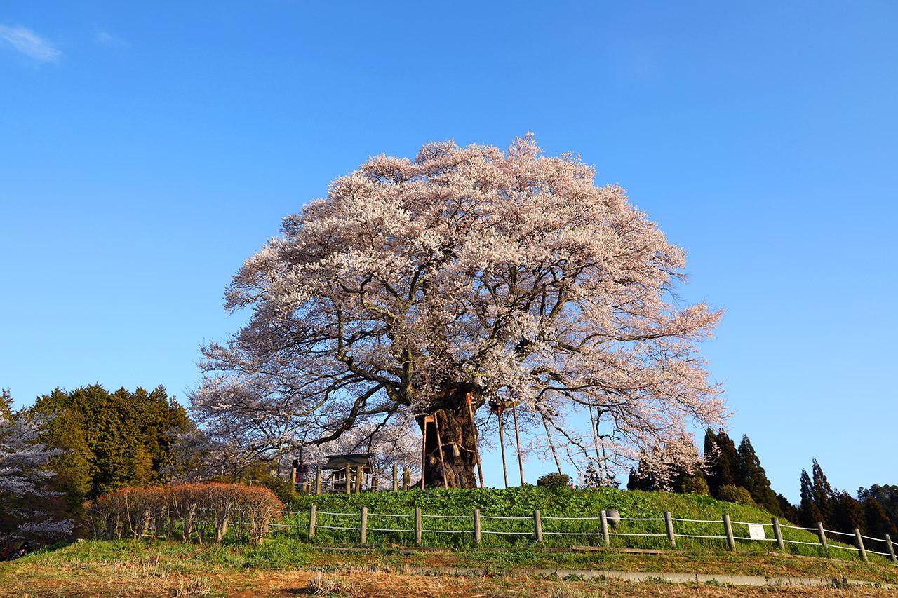 岡山県真庭市「醍醐桜」