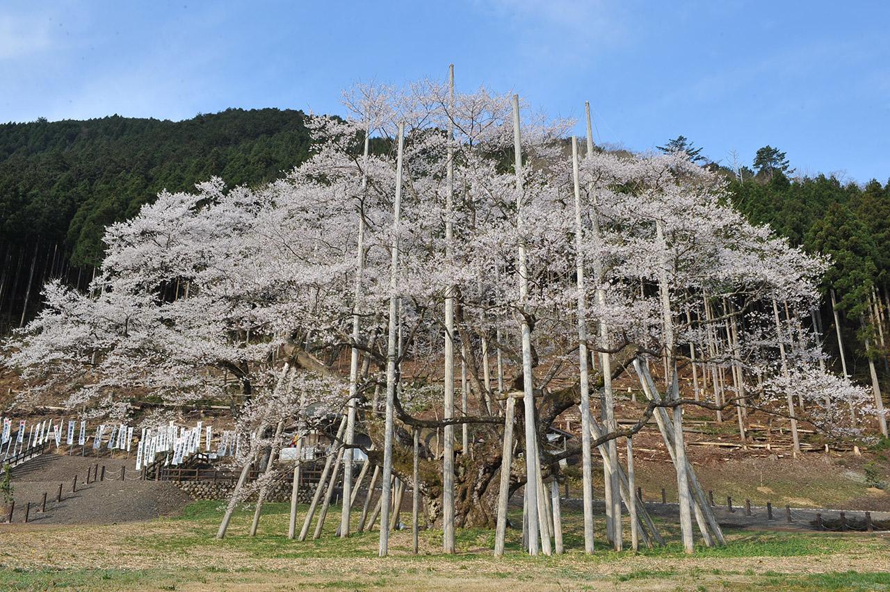 【お花見特集2020】多くの人に守られてきた樹齢千五百年の老木「根尾谷淡墨ザクラ」