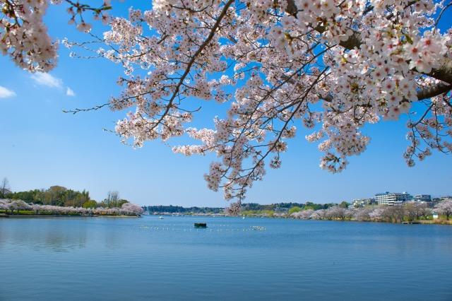 【お花見特集2020】湖を囲むように続く桜並木の遊歩道「千波湖」