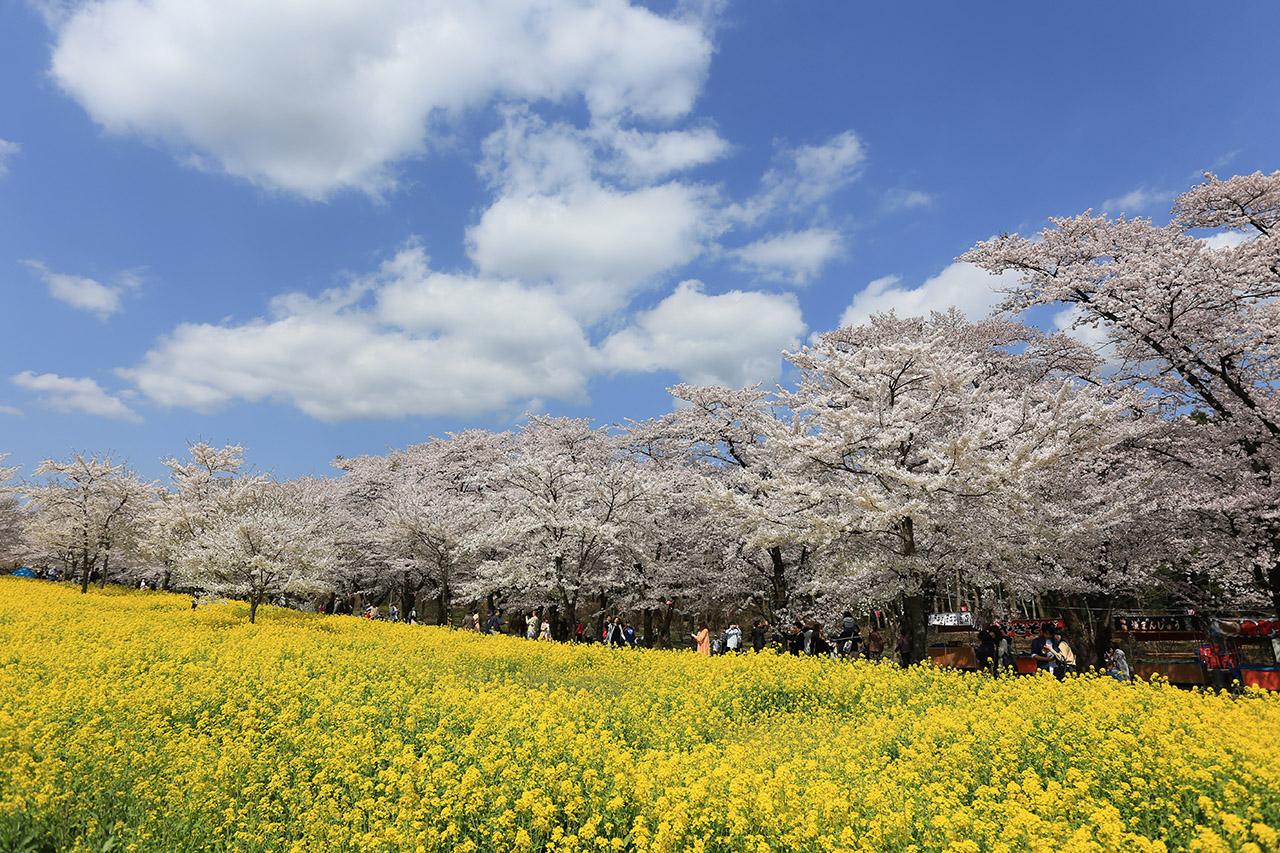 【お花見特集2020】地元の人々が実現した3.5kmに及ぶ長い桜並木「赤城南面千本桜」
