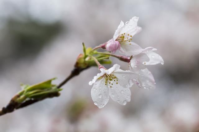 日本人ならぜひ覚えたい 風流漂う美しき「桜ことば」