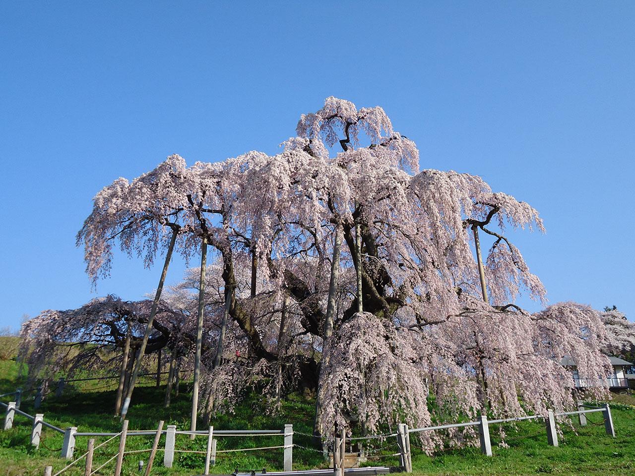 【お花見特集2020】花が滝のように枝垂れる巨木の桜「三春滝桜」