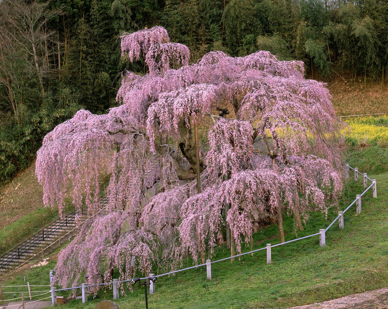 福島県三春町「三春滝桜」