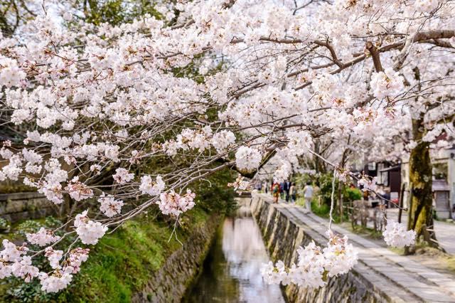 【京都】桜を愛でながら歩く、琵琶湖疏水沿いの道