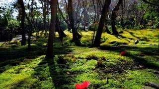 祇王寺 椿と苔庭