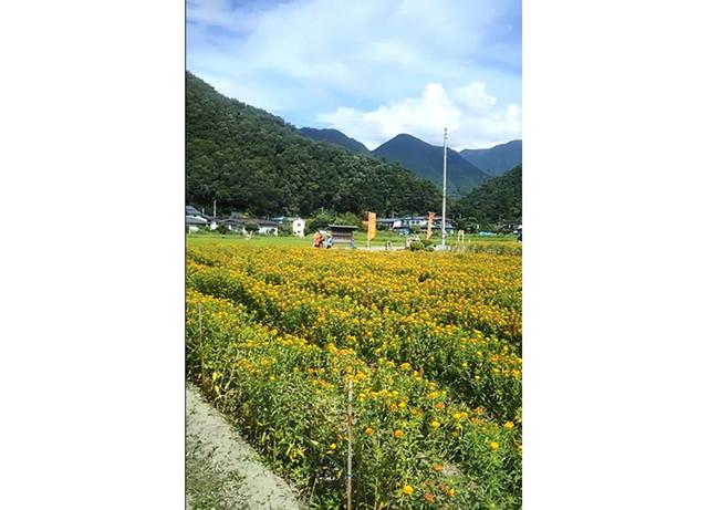 山形県特産品「最上紅花」