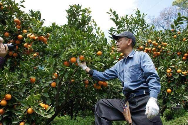 オレンジ生産者
