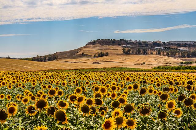 スペイン・カルモナのひまわり畑
