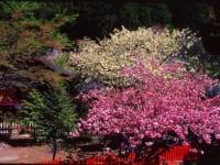 金桜神社 桜