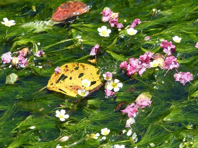 地蔵川の梅花藻2