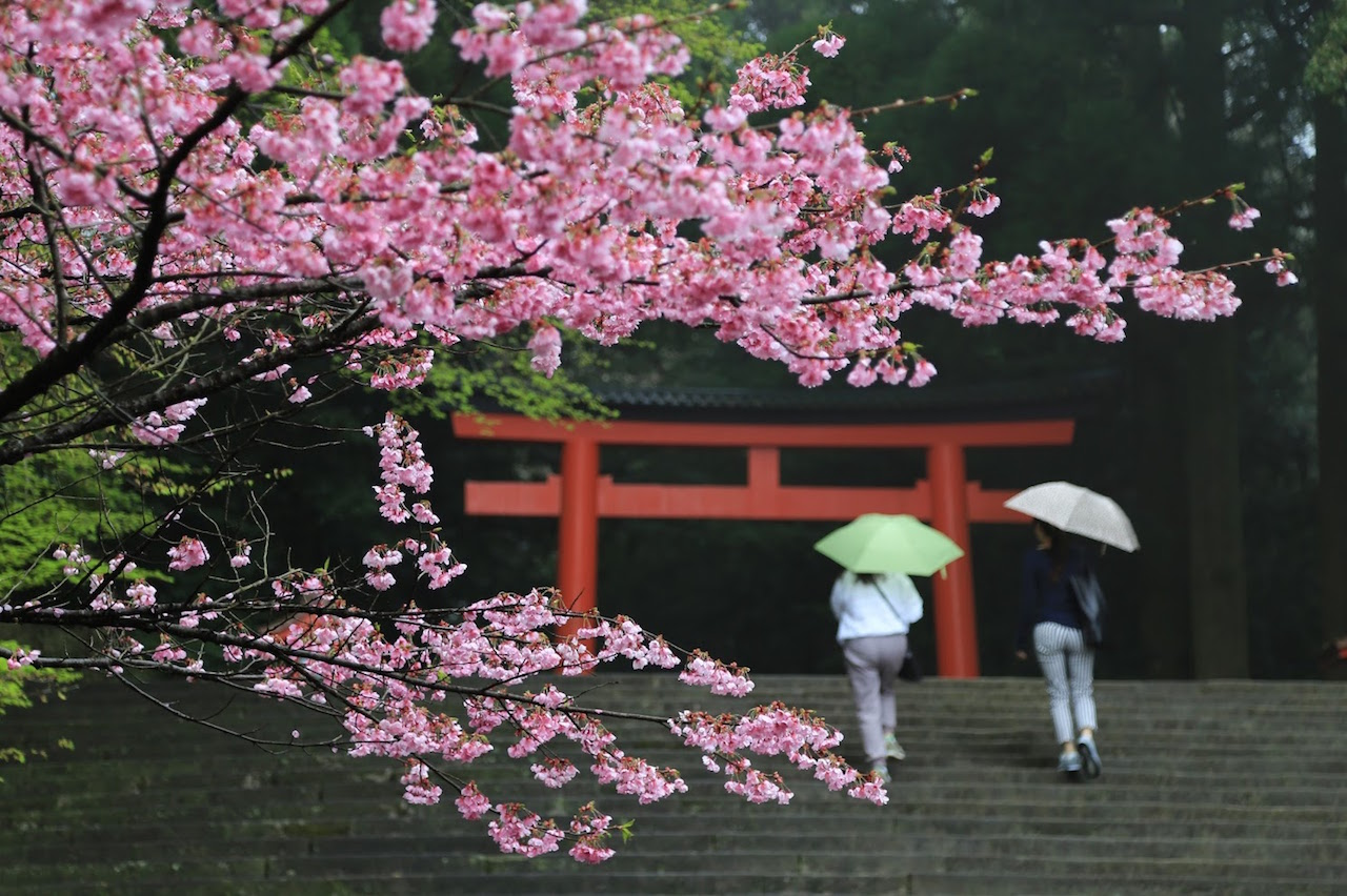 霧島神宮 桜