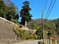 崖の上の箒杉
