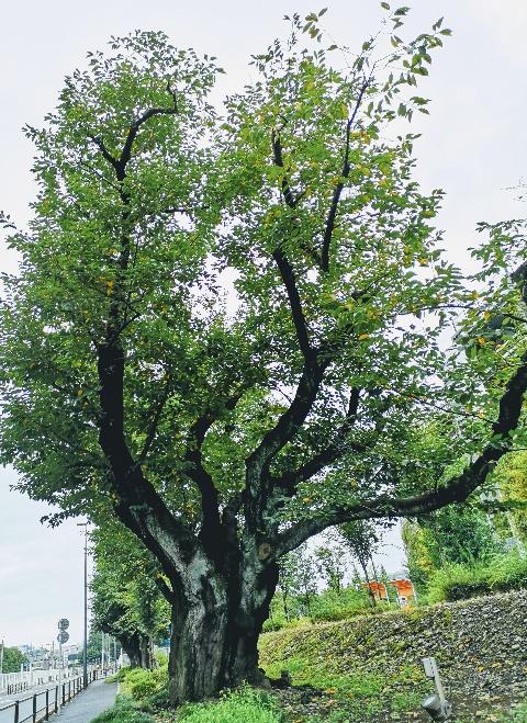 東京さんぽ・立川 ららぽーと立川立飛の立体駐車場側の並木道