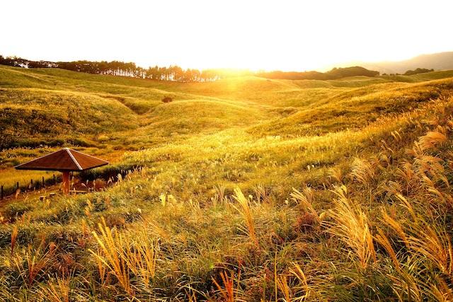 【東伊豆・稲取細野高原】日本最大級!黄金の絶景「すすき野原」を楽しむ
